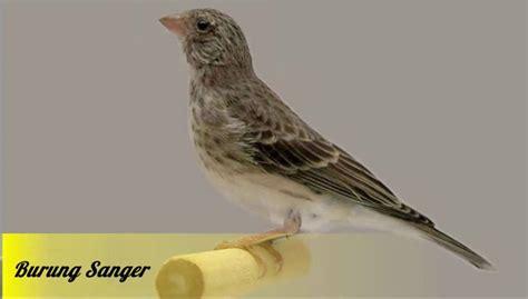 Free suara pikat betina jantan ciblek buat pikat dan masteran 100 ampuh mp3. Paling Keren 20+ Gambar Burung Flamboyan Jantan Dan Betina ...