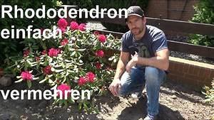 Geranien Vermehren In Wasser : rhododendron durch ableger vermehren steckling absenker ~ Watch28wear.com Haus und Dekorationen