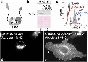 U21 Does Not Reroute Class I Mhc Molecules In The Absence