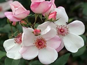 Sweet Pretty Rose : beetrose 39 sweet pretty 39 alles erfahren ber bl te duft co ~ A.2002-acura-tl-radio.info Haus und Dekorationen