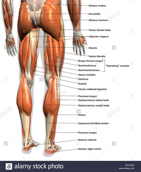 Play this quiz called back of leg muscle diagram and show off your skills. Labeled anatomy chart of male leg muscles, on white ...