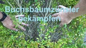 Buxbaum Raupen Bekämpfen : buchsbaumz nsler bek mpfen ohne gift buxbaumz nsler ~ A.2002-acura-tl-radio.info Haus und Dekorationen