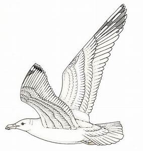 Gull Larus In Flight Anatomy
