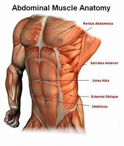 Male Abdominal Muscle Anatomy