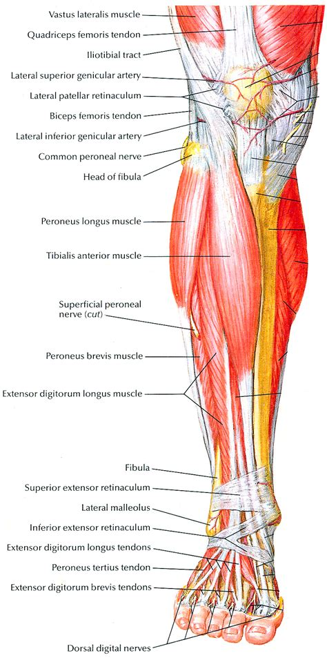 The human leg, in the general word sense, is the entire lower limb of the human body, including the foot, thigh and even the hip or gluteal region. Muscles that lift the Arches of the Feet