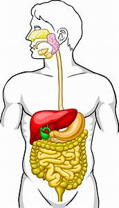 Collection Of Digestive Clipart