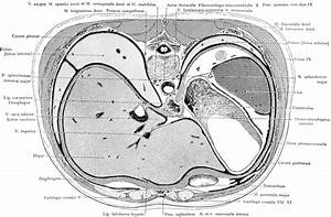 Cross Section Of The Trunk Through The Liver And Stomach