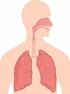 Respiratory System Stock Vectors  Royalty Free Respiratory