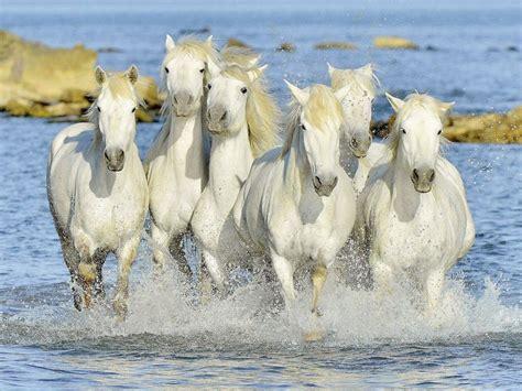 Puzzle sestavljanka Ravensburger Konji v galopu 1500 kosov | Trgovina Eigrače.com