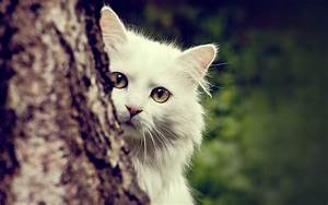 Cute White Cats HD Wallpapers & Beautiful Pictures – HD