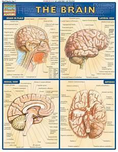 The Brain  Nine D U0026 39 Urso And Illustrations On Pinterest