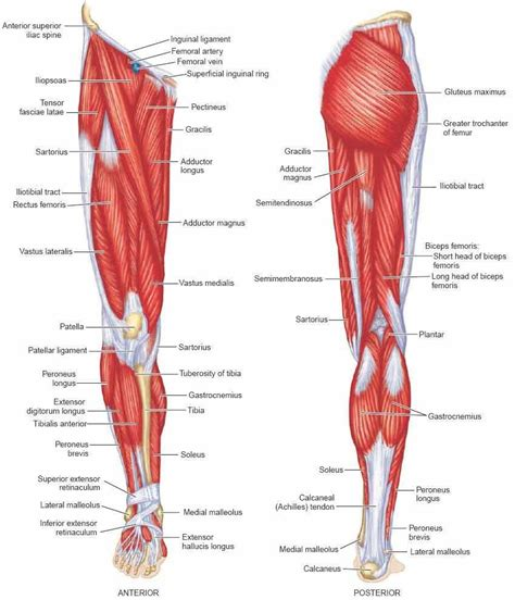 Human anatomy and physiology diagrams legs muscle diagram. Muscle Anatomy Leg Diagram Human Anatomy Leg Muscles ...