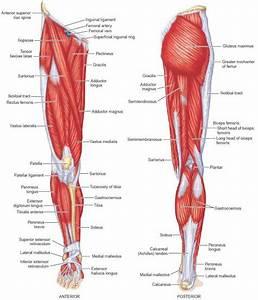 Muscle Anatomy Leg Diagram Human Anatomy Leg Muscles