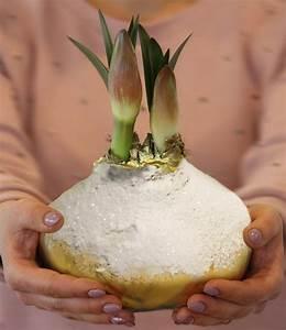 Amaryllis In Wachs : mega xxl wachs amaryllis touch of snow gold 1 zwiebel ~ A.2002-acura-tl-radio.info Haus und Dekorationen