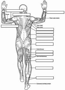 Muscle Labeling Worksheet Answers