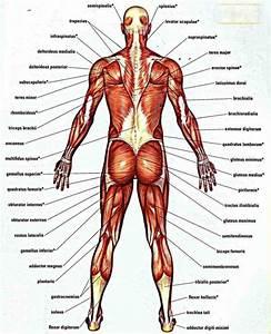 Lower Back Muscle Anatomy