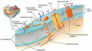 Anatomy And Physiology Quizlet Chapter 3