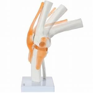 Axis Scientific Functional Knee Model