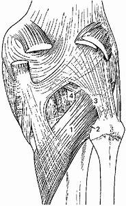 Diagram Of The Posterior Aspect Of The Knee Showing The