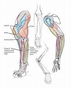 Cat Front Leg Anatomy