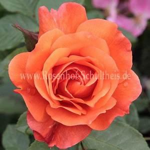 Rosen Düngen Im Frühjahr : westerland rosen online kaufen im rosenhof schultheis rosen online kaufen im rosenhof schultheis ~ Orissabook.com Haus und Dekorationen