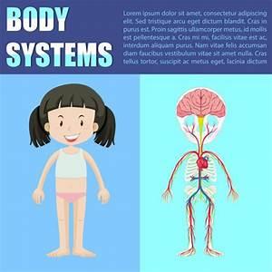 Vector  Dibujo De El Sistema Nervioso