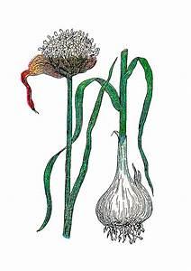Antique Images  Free Botanical Graphic  Vintage
