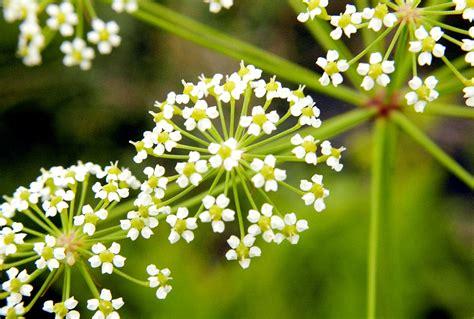 Latvijā sastopamas ap 100 indīgu augu sugas - cilvēki tās ...