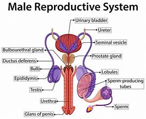 Hormones In Male Reproductive System
