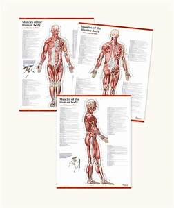 Trail Guide To The Body U0026 39 S Muscles Of The Human Body