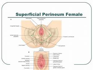 Anatomy Of Pelvis  U0026 Perineum