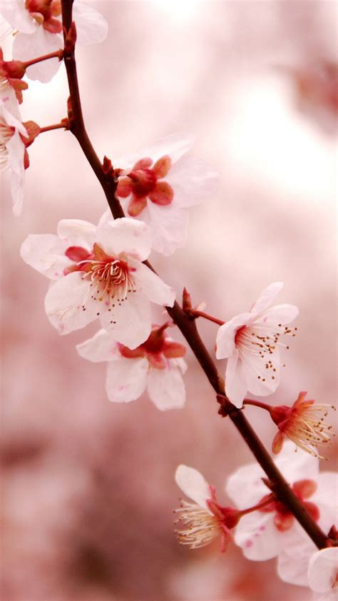 We offer an extraordinary number of hd images that will instantly freshen up your smartphone or. Cherry and Sakura Flowers Mobile Wallpapers - WallpaperBoat