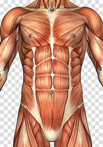 Diagram Of Abdomen Muscles