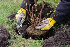 Magnolien Vermehren Durch Stecklinge : johannisbeeren vermehren so geht 39 s am besten ~ Lizthompson.info Haus und Dekorationen