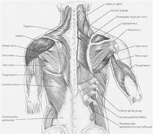 Back Neck Muscles Diagram