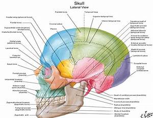 Diagrams Of Anatomy Of Skull With Radiographic Land Marks