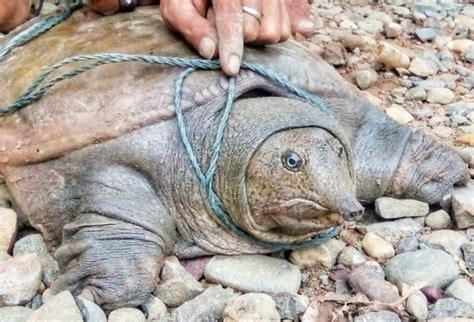 # Labi-Labi Moncong Pig Turtles Water Rare # — Steemit