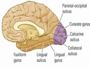 Parietal Definition Anatomy